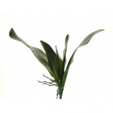 Orchidee Roots Green